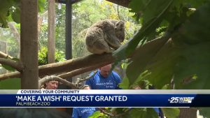 "8-year-old gets up close to Koalas at Palm Beach Zoo in ""Make a Wish"" request"