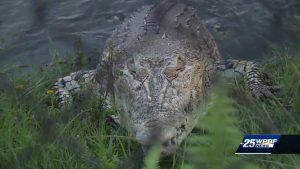 Gator sightings are on the rise across the state