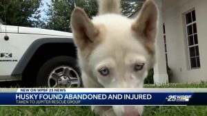 Abandoned husky getting much needed TLC