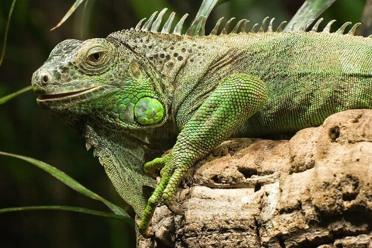 Homeowner thinks state should start iguana sterilization program