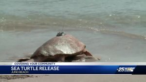 Sea Turtle release in Juno Beach