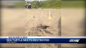Sea turtle nests destroyed