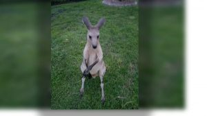 Kangaroo remains on the loose in Jupiter Farms
