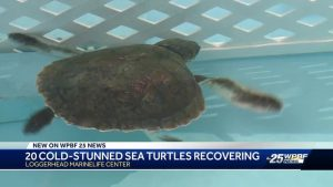 20 cold-stunned sea turtles rescued from frigid Massachusetts waters