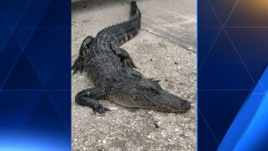 Man attacked by gator in Delray Beach