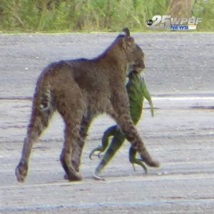 Bobcat snatches up huge llizard