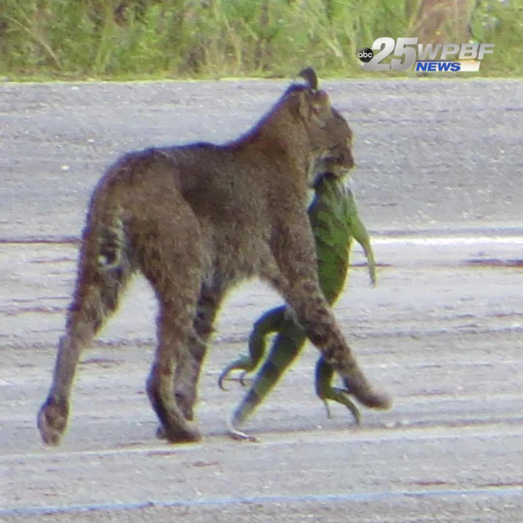 Bobcat snatches up huge llizard