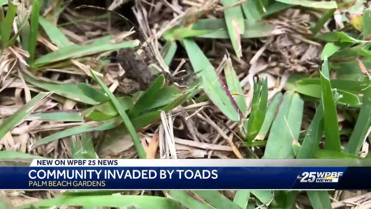 Plague of toads spread fear in Palm Beach Gardens neighborhood
