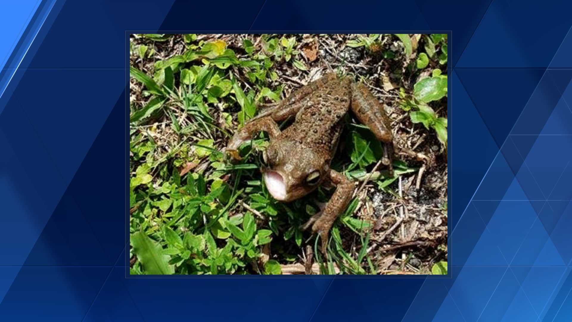 Half-faced amphibians found in Jupiter Farms: possible mutation