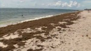 More seaweed than ever spotted on South Florida beaches