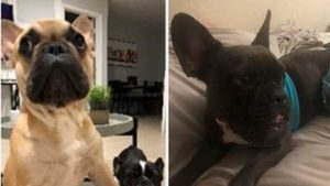 Two French bulldogs stolen within two miles of each other