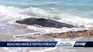 Beached whale found along beach on Palm Beach