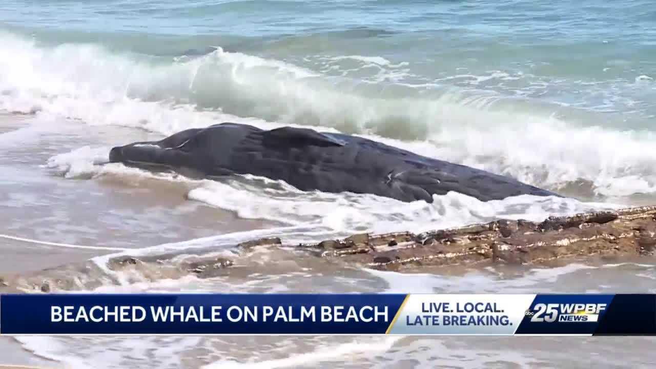 Beached whale found along beach on Palm Beach