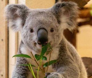 the Palm Beach Zoo's newest koala