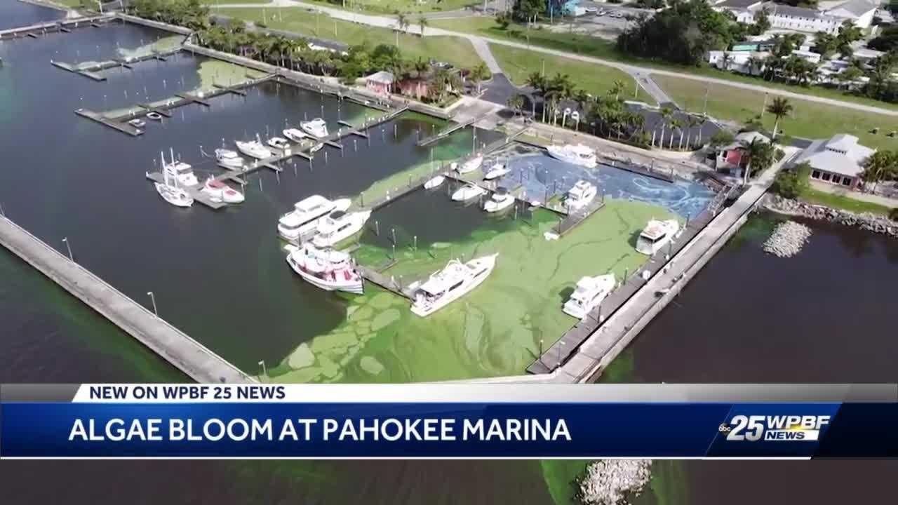 Blue-green algae spotted at Pahokee Marina